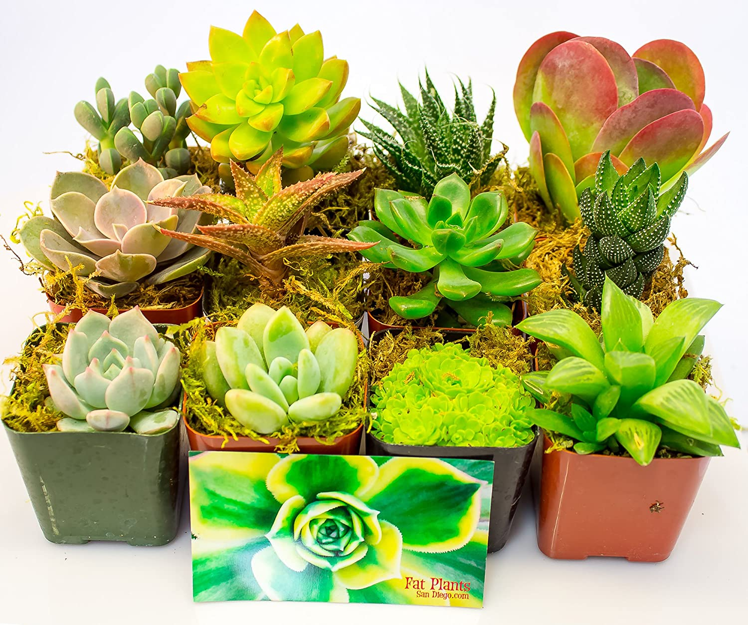 Types of Succulents to Grow in Pots