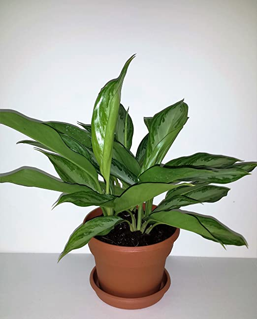 Plata Reina chino Evergreen – planta Aglaonema – 6