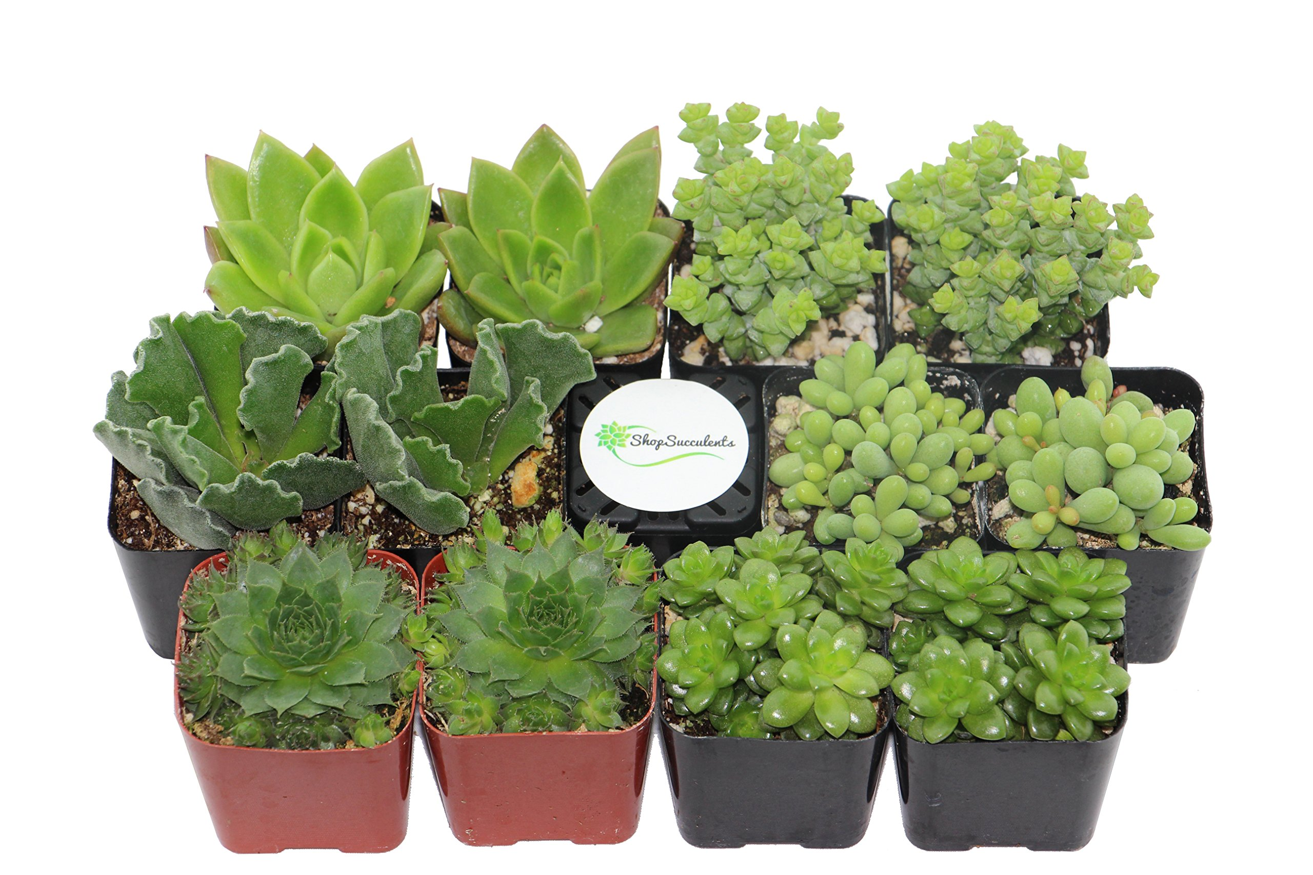 Shop Succulents | Green Live Plants, Hand Selected Variety Pack of Mini Succulents | | Collection of 12 in 2'' pots, Pack of 12 by Shop Succulents (Image #2)