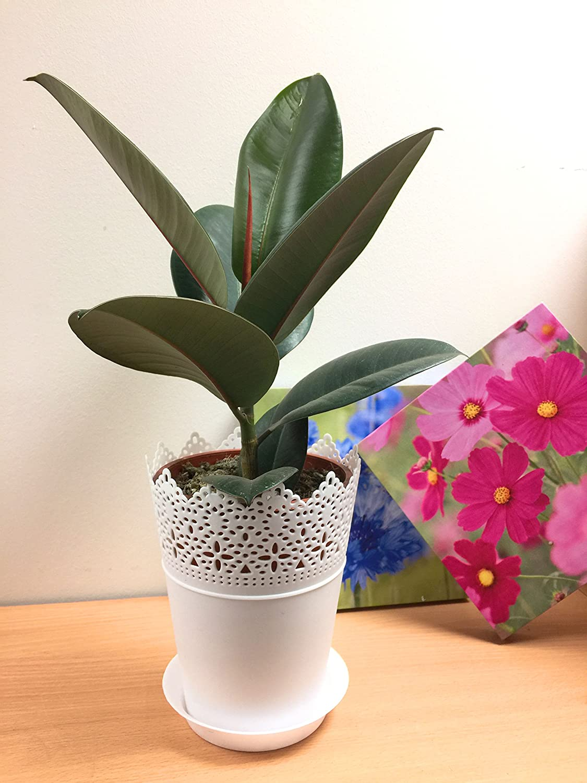 1 Easy Plants® Rubber Plant Table Plant @ White Floral Pot & Saucer Easy Plants®