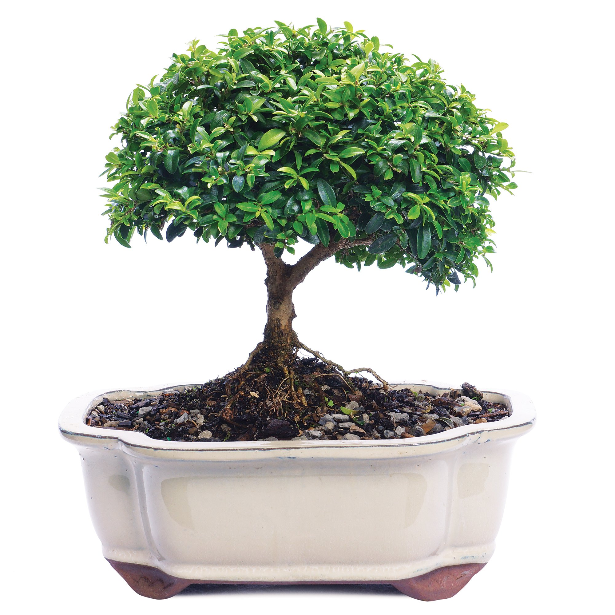 Brussel's Live Kingsville Boxwood Outdoor Bonsai Tree - 10 Years Old; 5'' to 9'' Tall with Decorative Container