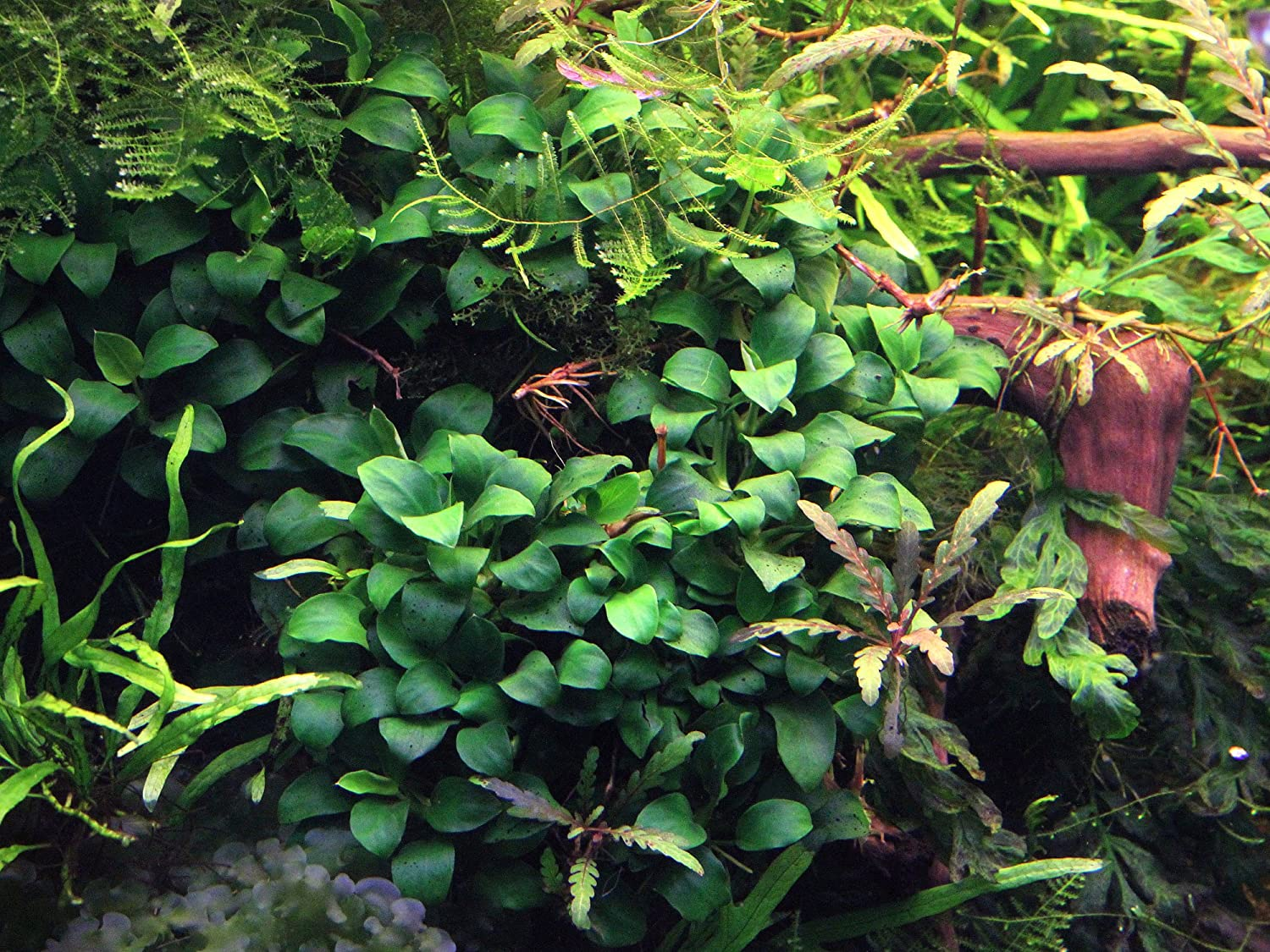 Live Aquarium Plant Dennerle Anubias Nana Bonsai Eu Grown Shrimp Safe Live Plants