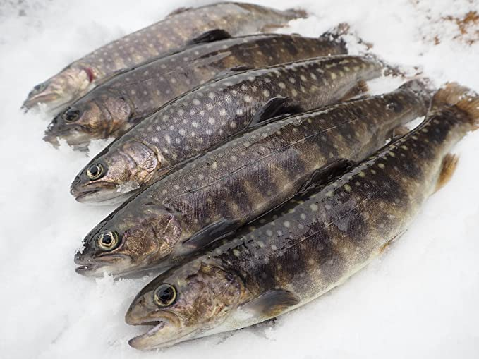Amazon 岩魚 イワナ 冷凍 新潟魚沼産 21 22 サイズ 10尾入 魚沼 高野養魚場 鮮魚 通販