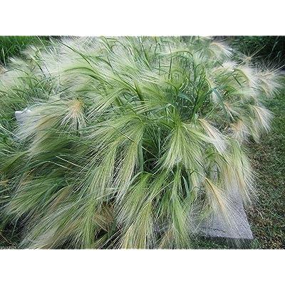 Ornamental Grass,Hordeum jubatum ,Squirrel-tail Grass,Foxtail Barley 500 Seeds: Kitchen & Dining