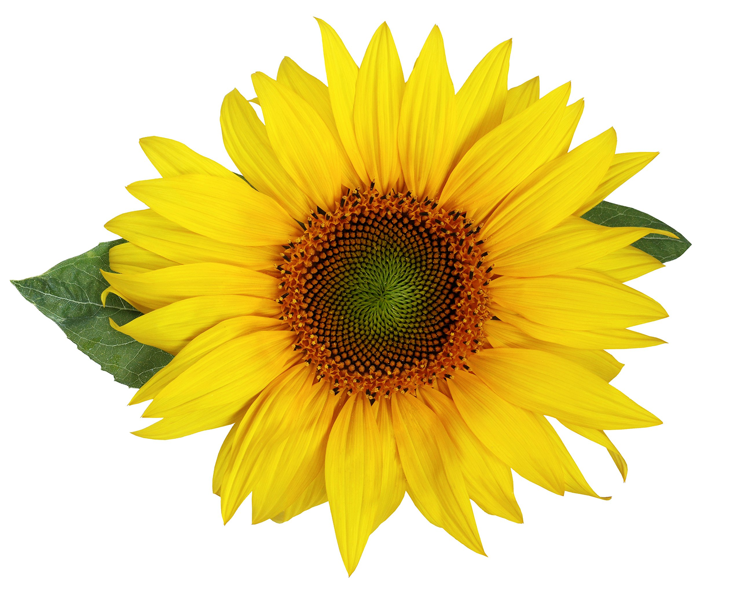 Quality Sunflower Grow Kit | Grow Your Own Unique Dwarf Sunflower from Seed in Just A Few Weeks | Unique Basalt Pot, Non-GMO Mother's Day Gardening Kit with Easy Instructions | by TotalGreen Holland (Image #4)