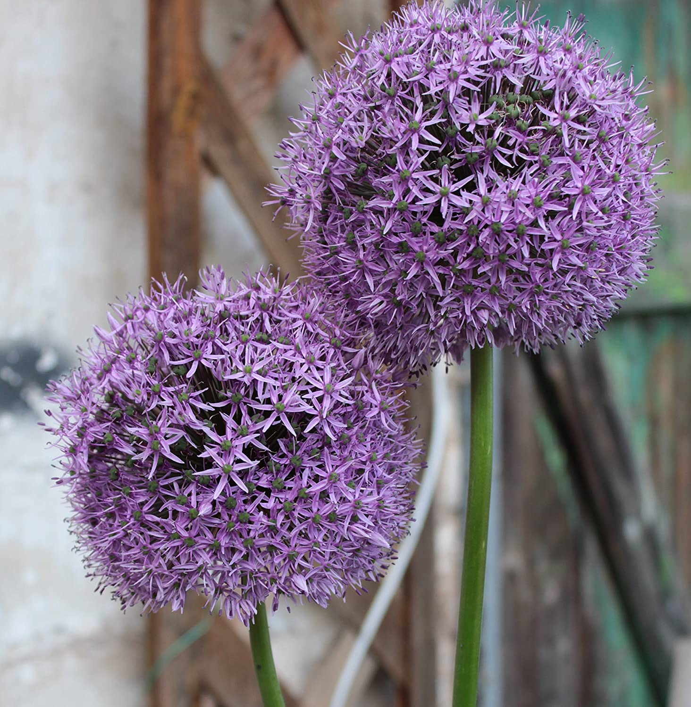 5 Riesen Allium Gladiator Zierlauch gro/ßblumig Blumenzwiebeln