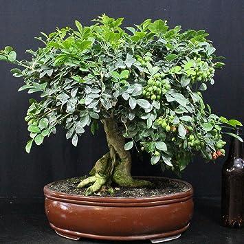 Bois jasmin, Bonsaï d\'intérieur, 29 ans, hauteur 36 cm: Amazon.fr ...