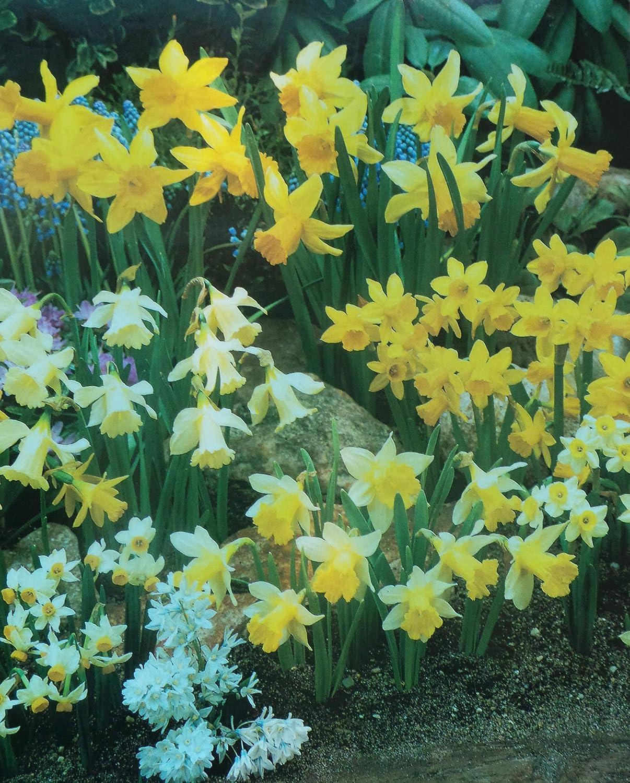 Mixed Miniature Daffodil Bulbs in Stock Now (100) Bonnies Bulbs