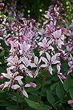 Brennender Busch, Dictamnus albus im 9cm Topf