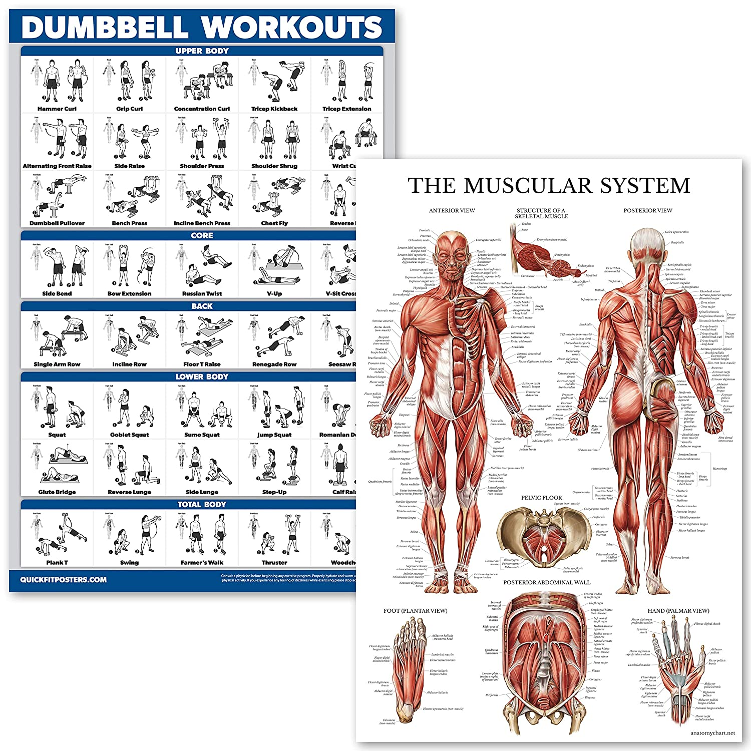 Amazon Quickfit Dumbell Workouts And Muscular System Anatomy