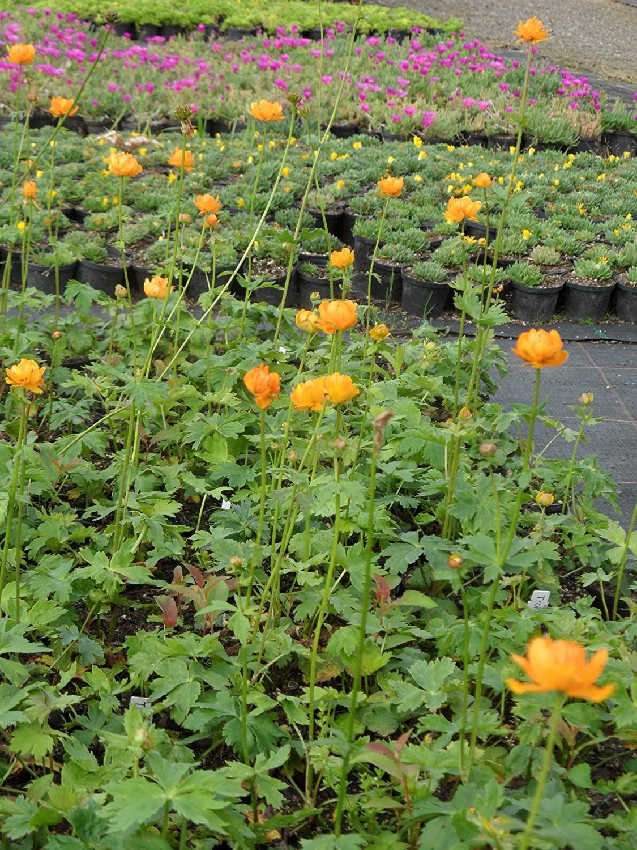 Sibirische Trollblume Trollius asiaticus 3 Pflanzen