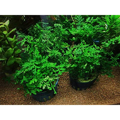 1 Bolbitis Difformis Pot 2 Inches Aquarium Plants AB022 : Garden & Outdoor