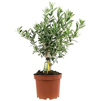 BOTANICLY | Plantes vertes d intérieur - Olivier | Hauteur: 35 cm ...