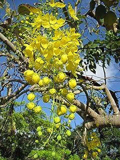 Golden shower tree care