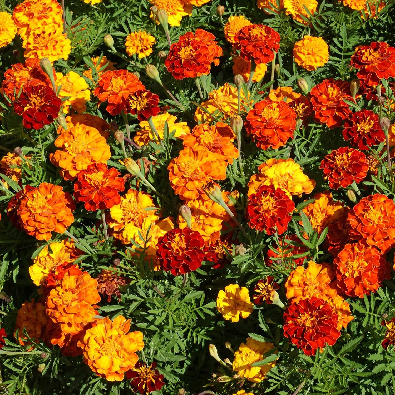 Amazon Com Outsidepride Marigold Flower Seed Mix 1000 Seeds Flowering Plants Garden Outdoor