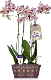 Hallmark Flowers Double Spike Purple Dotted Orchid Duo in 10-Inch Purple Tin Container