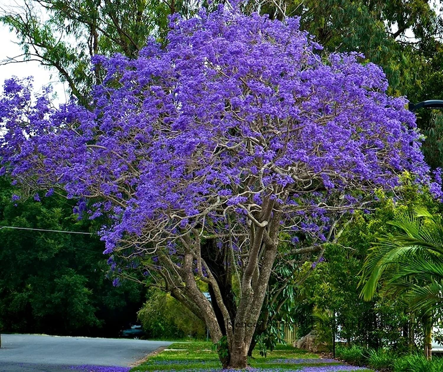 Seedstores 10 seeds of blue jacaranda neeli gulmohur jacaranda seedstores 10 seeds of blue jacaranda neeli gulmohur jacaranda mimosifolia for growing amazon garden outdoors izmirmasajfo