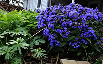 Gardenhouse pulmonaria blue ensign x 2 plants blue lungwort early gardenhouse pulmonaria blue ensign x 2 plants blue lungwort early spring flowers for bees mightylinksfo