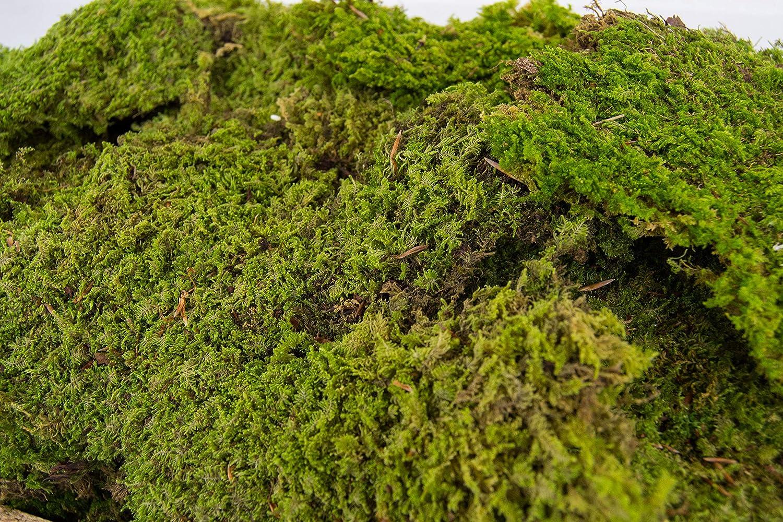 Flachmoos Moosmatte Moosplatte Plattenmoos Natur Deko Moos echtes Moss Osterdeko Frühlingsdeko Deko Moos frisches Natur Moos