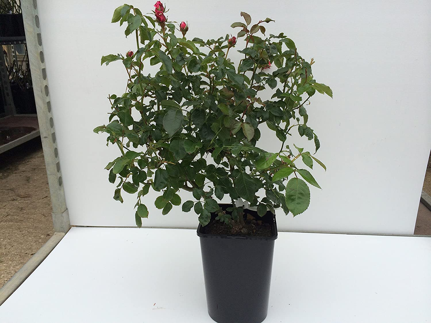 5.5lt Potted Shrub Garden Rose Fantastic Displays of Deep Red//Purple Blooms with Bright Gold Centres Midsummer Nights Dream