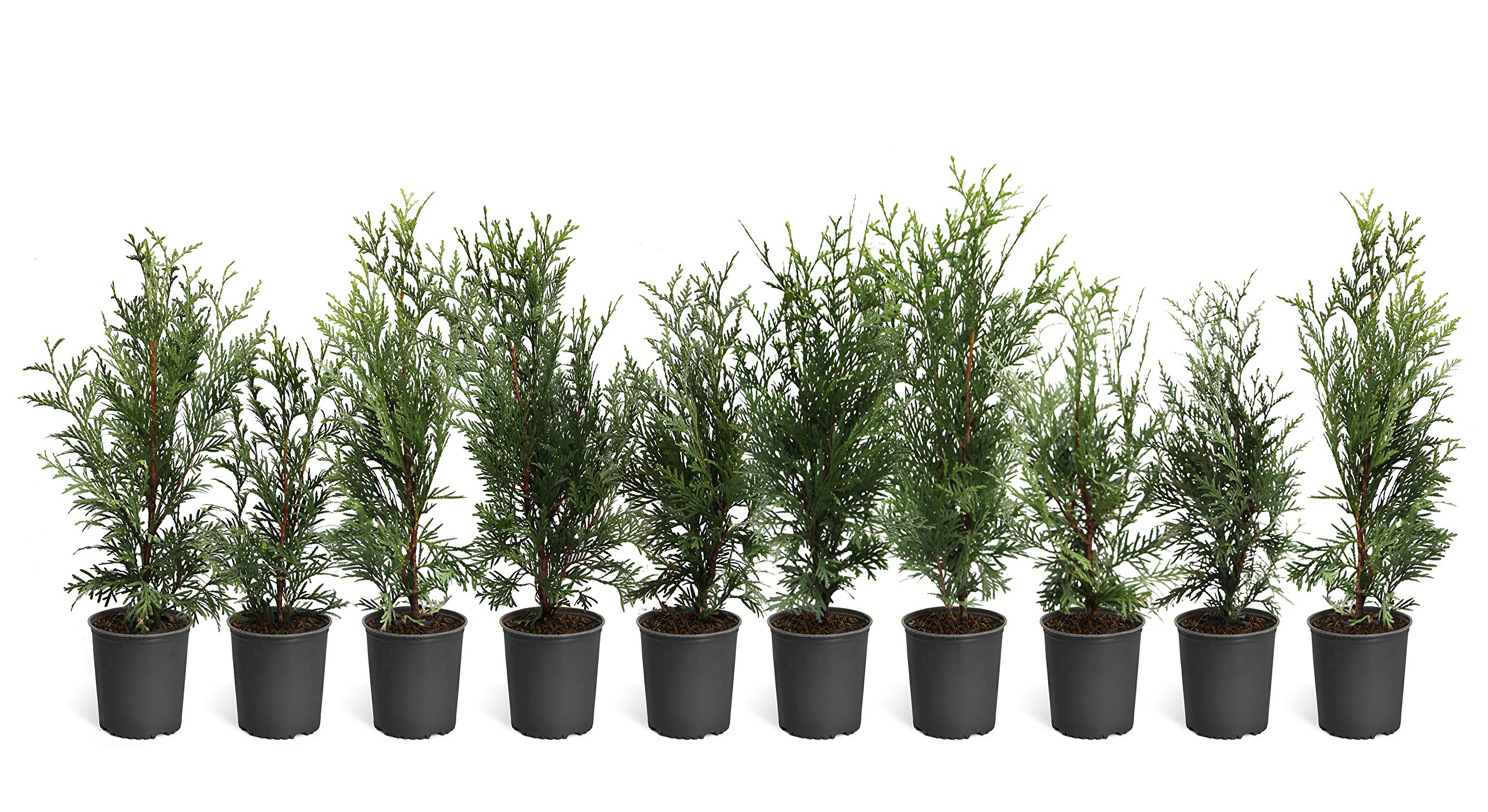 Thuja Green Giant Trees - Large, Tall Evergreen Trees for Instant Privacy! - Oversize Arborvitae Thuja Green Giants (10 Plants (1-2 feet Tall))