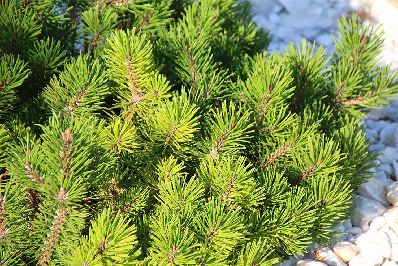 pumilio Pinus mugo var 30+cm im 3 Ltr Zwergbergkiefer Topf