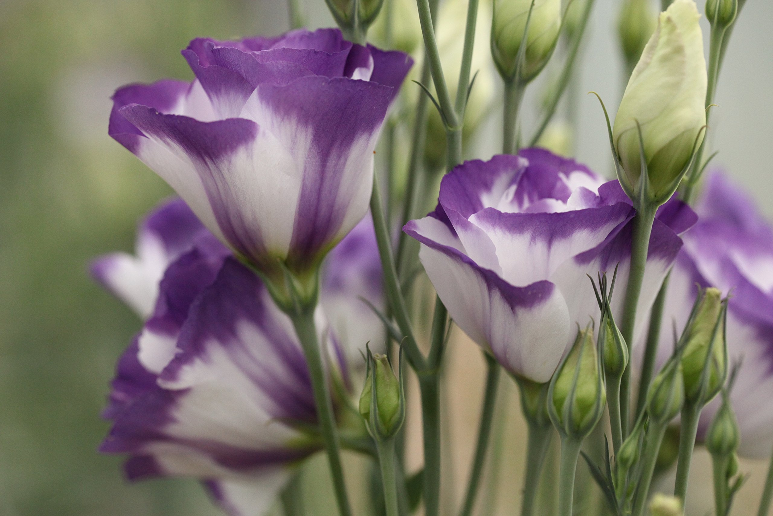 20 eustoma seeds SAPPHIRE BLUE CHIP lisianthus seeds, longest-lasting cut-flowers you can grow