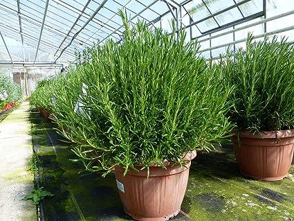 Rosmarin Officinalis Xl Busch O 40 Cm Stehend Winterhart Krauter Pflanze Krauterkuche