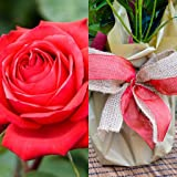 Rose Golden Wedding Golden Wedding Anniversary 50th