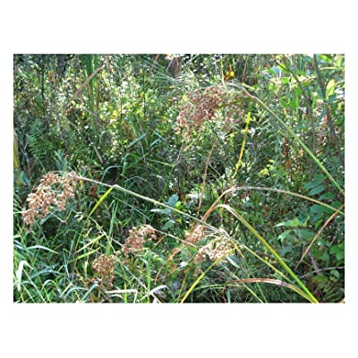Seeds Wool Grass, 6' Tall Pond Water Plant, 450 Seeds : Garden & Outdoor