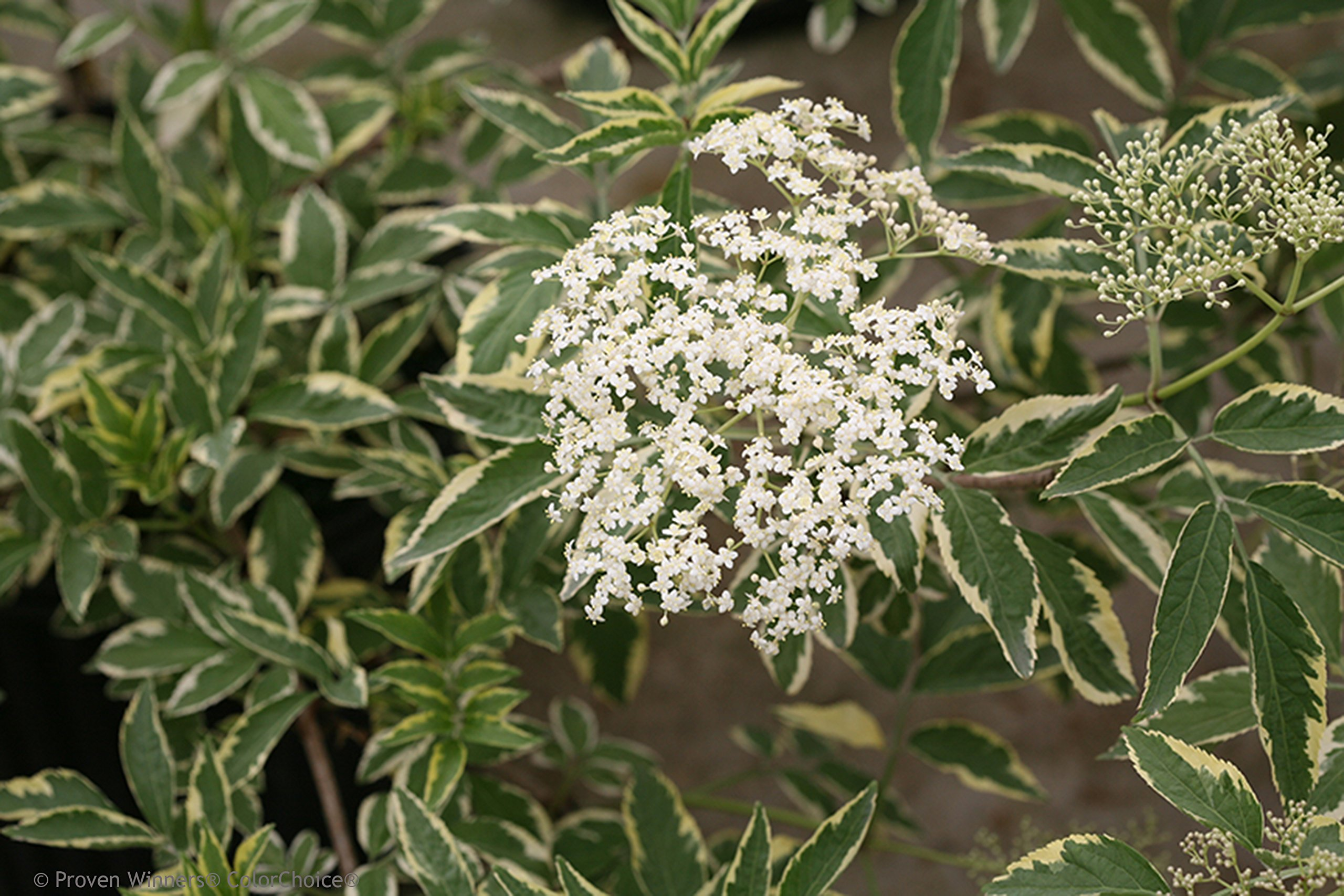 Instant Karma Elderberry (Sambucus) Live Shrub, White Flowers and Variegated Foliage, 1 Gallon by Proven Winners (Image #2)