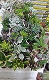 Piante grasse mix succulente e grassulacee,COMUNI E NON COMUNI, placca da piantine 20 diametro 5 Mondonatura srl