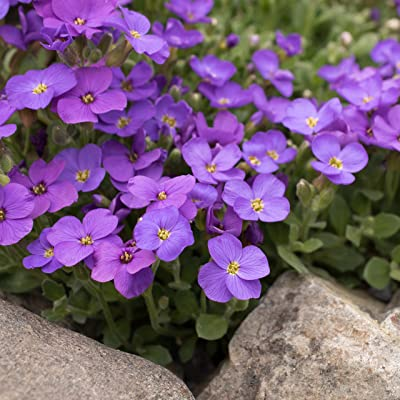 Outsidepride Blue Phlox Ground Cover Plant Flower Seeds - 1000 Seeds: Garden & Outdoor
