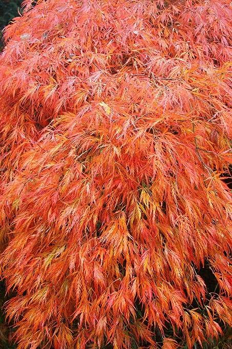 Amazoncom 1 Gallon Acer Palmatum Orangeola Japanese Maple