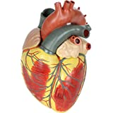 Axis Scientific 3-Part Heart (3x Life-Size)