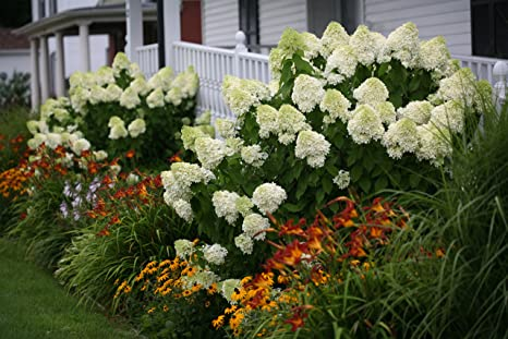 4 5 in  qt  Limelight Hardy Hydrangea (Paniculata) Live Shrub, Green to  Pink Flowers