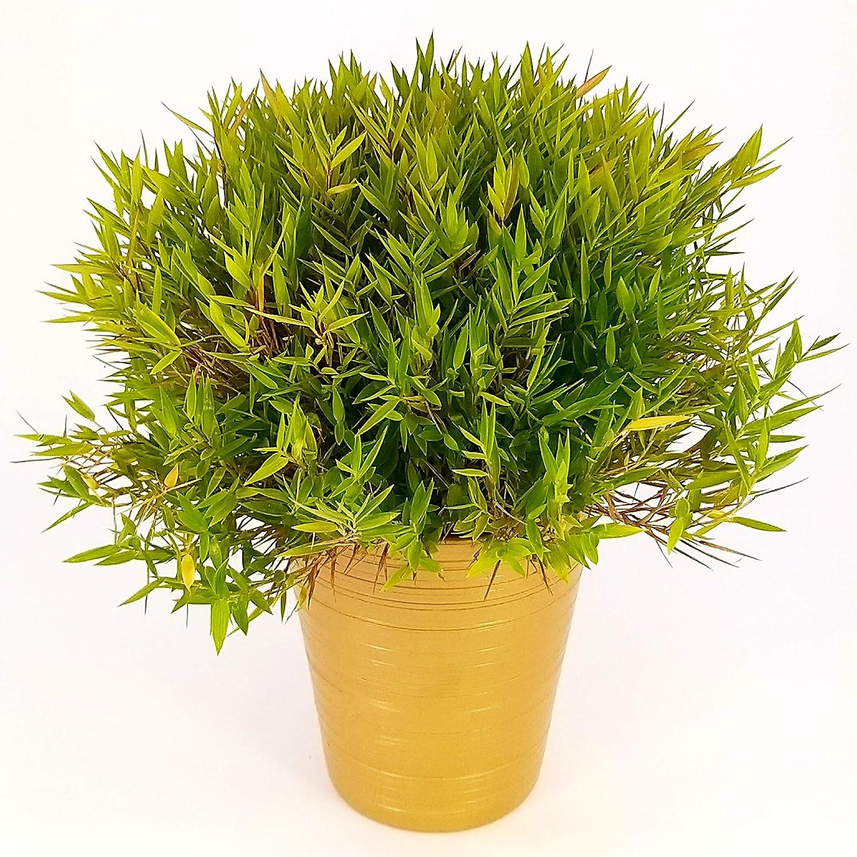 Bambú enano en maceta de cerámica dorada, planta auténtica: Amazon.es: Jardín