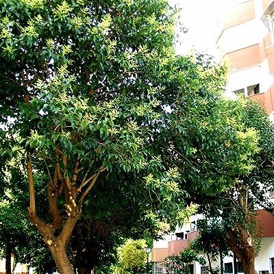 CHINESE GLOSSY PRIVET Ligustrum Lucidum - 15+ SEEDS : Garden & Outdoor