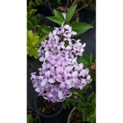 (1 Gallon Small) 'Palabin' Lilac, (Dwarf Korean) - Compact Shrub with Lavender to Blue, Sweetly Fragrant Single Flowers, in Dense Clusters in May and June. : Garden & Outdoor