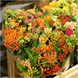 Package of 100 Seeds, Autumn Blaze Milkweed (Asclepias species) Open Pollinated Seeds by Seed Needs USA