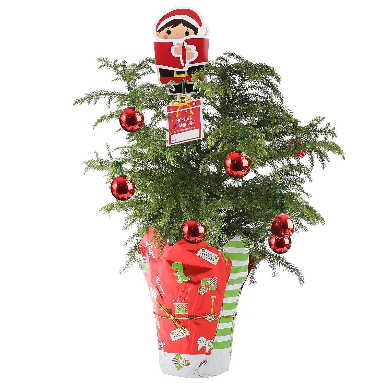 Amazon.com : Costa Farms Live Norfolk Island Pine (Indoor Christmas ...