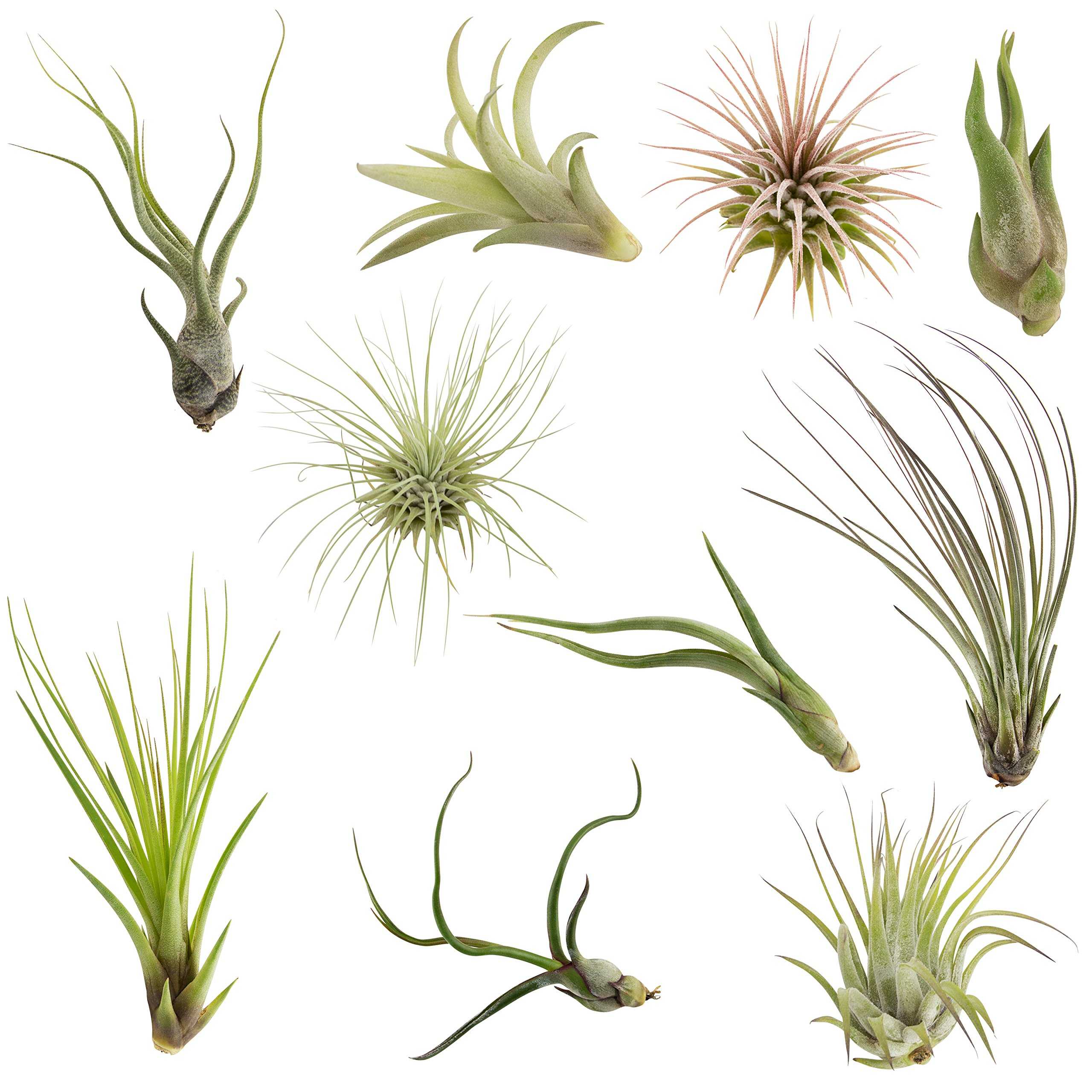 CTS Air Plants Assorted Tillandsia Easy Care Collection(10 pack)-Low-Maintenance Air Plants by CTS Air Plants