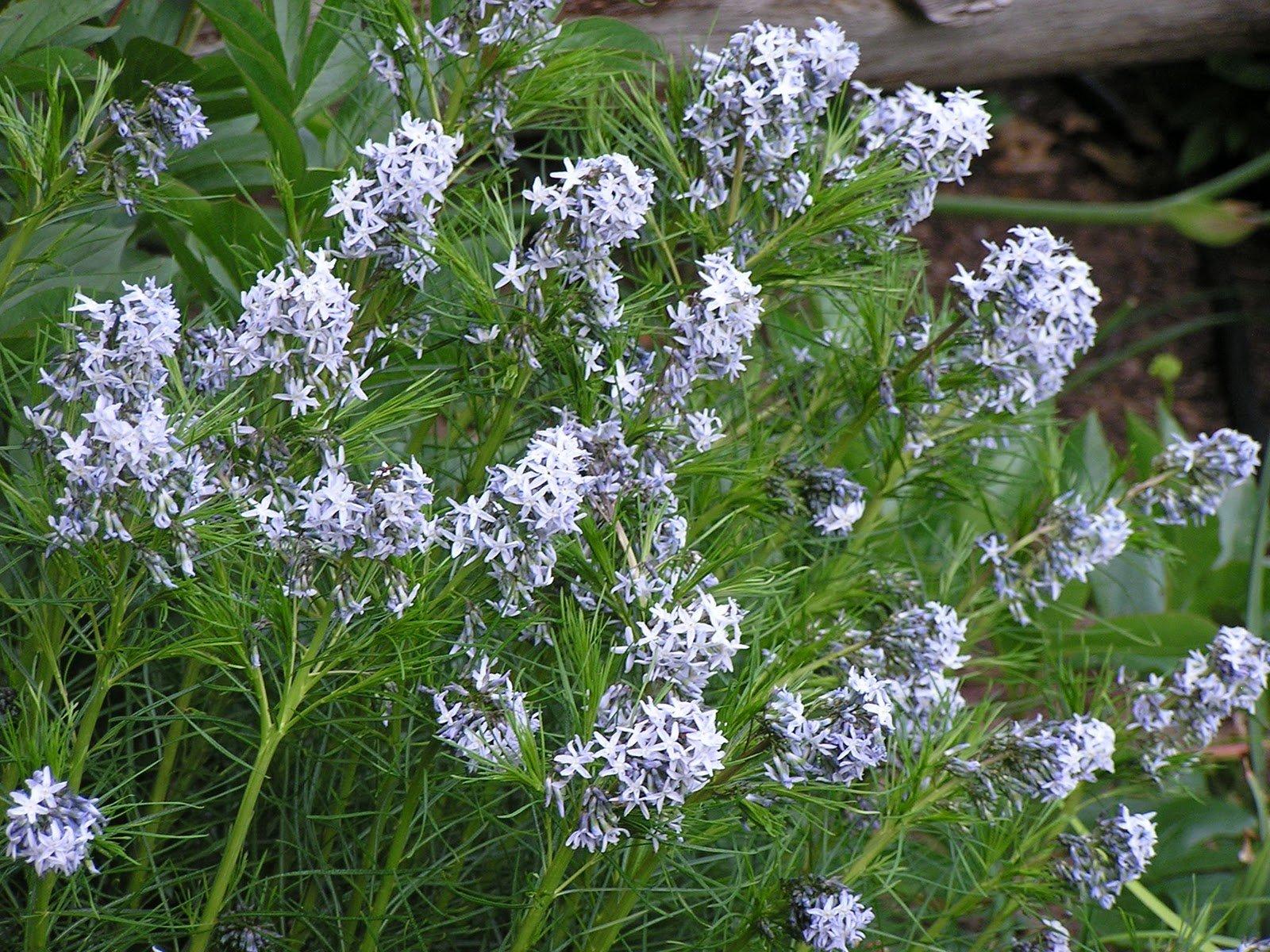(1 gallon) AMSONIA hubrichtii Arkansas Blue Star, Feathery, soft-textured, needle-like leaves, bears lots of light blue flowers(Hydrangeas Shrub, Evergreens, Gardenia