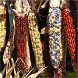 """Package of 200 Seeds, Ornamental Corn """"Indian Mixture"""" (Zea mays) Non-GMO Seeds By Seeds"""
