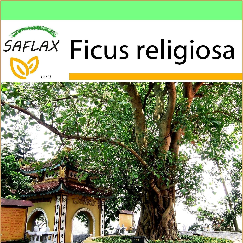 Ficus religiosa 100 Samen Buddha Baum Seedeo® Bodhi Tree