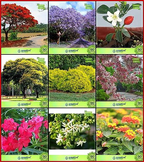 Creative Farmer Best Collection Combo Tree Seeds Jacaranda