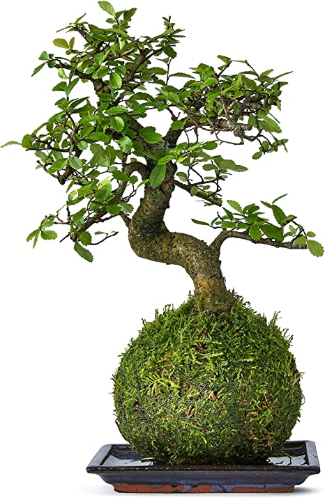 Bonsai Tree Kokedama House And Desktop Plant