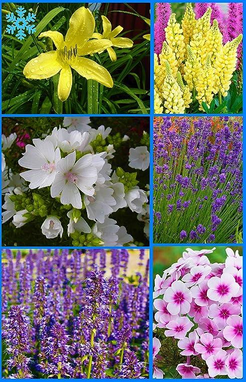 Immer Blühender Garten big set immerblühender wohlriechender winterharter dufstauden mix 6