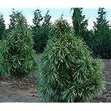 Amazoncom Pusch Dwarf Spruce Picea Abies Pusch 1 Year