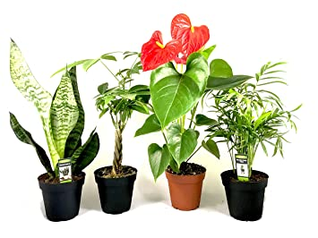 "Amazon.com: Live Indoor Plants Four Pack Assortment in 4"" Pots ..."